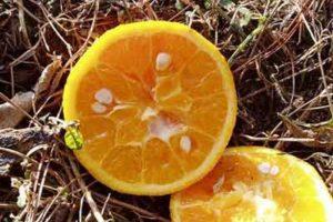 L'oranger