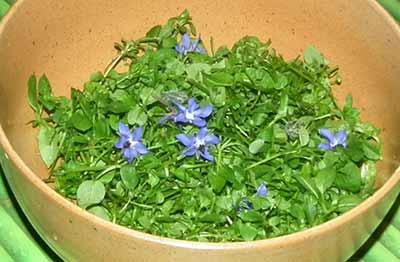 Salade mouron blanc